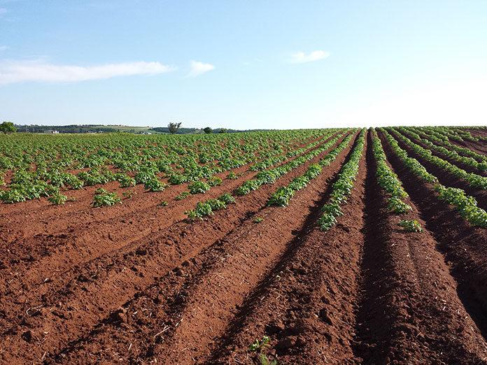 Zabiegi herbicydowe pszenicy